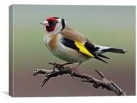 Goldfinch on branch., Canvas Print