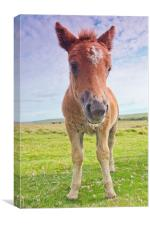 Dartmoor Pony, Canvas Print