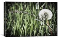 Dandelion and grass, Canvas Print