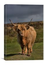 Highland cattle 5                            , Canvas Print