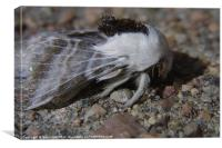 Woolly Moth Brandishes Mandibles, Canvas Print