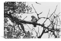 Curious Red Tailed Hawk, Canvas Print