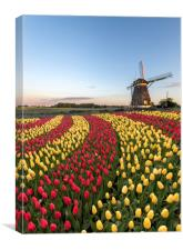 Duo color red and yellow tulips flowers blossom, Canvas Print