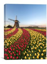 Duo color red and yellow tulips flowers, Canvas Print