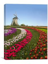 Colorful Dutch tulip farm nested to a majestic win, Canvas Print