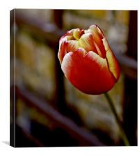 Tulip From Amsterdam, Canvas Print