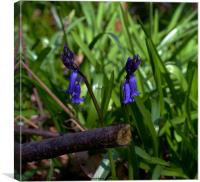 early essex bluebells, Canvas Print