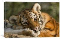 Amur Tiger Cub, Canvas Print