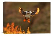 Sunset Puffin, Canvas Print