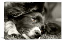 Loveable Rescued Border Collie dog, Canvas Print