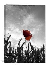 Red Poppy Amongst the Wheat, Canvas Print