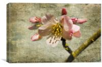 Textured Cherry Blossom, Canvas Print