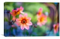 Orange Dahlia flowers, Canvas Print