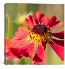 End of the season Red Cone Flower, Echinacea, Canvas Print