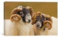 Pair of Cheeky Rams, Canvas Print