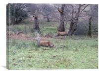 Young Stags Arran, Canvas Print