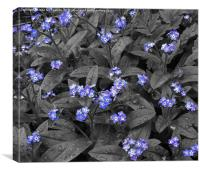 Forget-Me-Not Flowers, Canvas Print