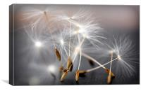 dancing dandelion heads, Canvas Print