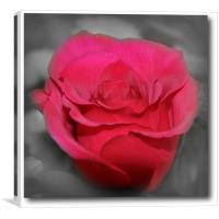 beautiful red rose, Canvas Print