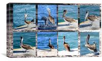 The many faces of Pelicans , Canvas Print