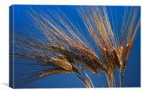 Tenons of wheat over blue background, Canvas Print