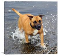 Dog in the river splashing, Canvas Print