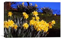 Daffodils in Bloom, Canvas Print