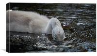 Cygnet on the River Usk, Canvas Print