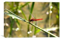 red dragonfly, Canvas Print