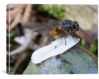 New forest Fly on fungi, Canvas Print