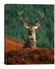 Red deer stag, Canvas Print