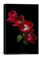 Red Tulips on Black, Canvas Print