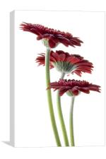 Three Tall Gerbera, Canvas Print