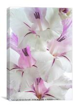 Lilac and White Gladiolus, Canvas Print