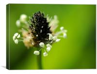 Plantain ribwort, Canvas Print