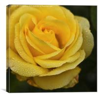 Yellow Rose with Raindrops, Canvas Print