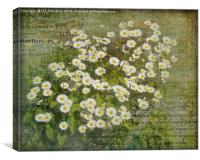Daisy Days, Canvas Print