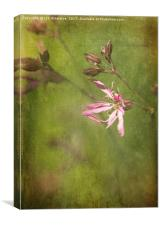 Ragged Robin, Canvas Print