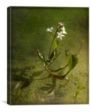 Marsh Trefoil (Bogbean), Canvas Print