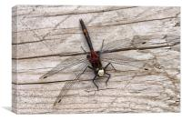 White-faced Darter Dragonfly, Canvas Print