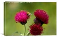 Plume Thistle and Bee, Canvas Print