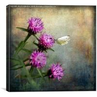 Cabbage White on Knapweed, Canvas Print