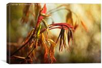 Acer Leaves, Canvas Print