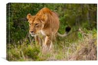 Lioness hunting, Canvas Print