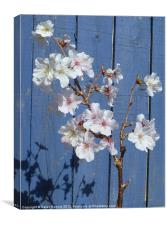 Spring cherry blossom on blue, Canvas Print