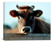 Young  Female Jersey Moo, Canvas Print