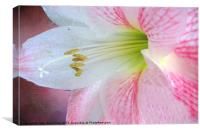 Amaryllis Portrait, Canvas Print