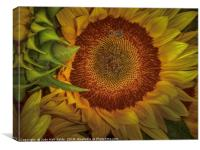 Sunflower Splendor, Canvas Print