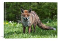 English Red Fox in Meadow, Canvas Print
