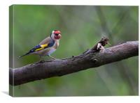 Goldfinch on a Branch, Canvas Print